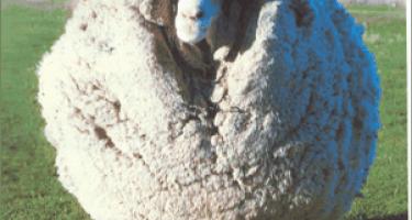 Подстриги овцу: тонкости обработки овечьей шерсти и изготовления пряжи